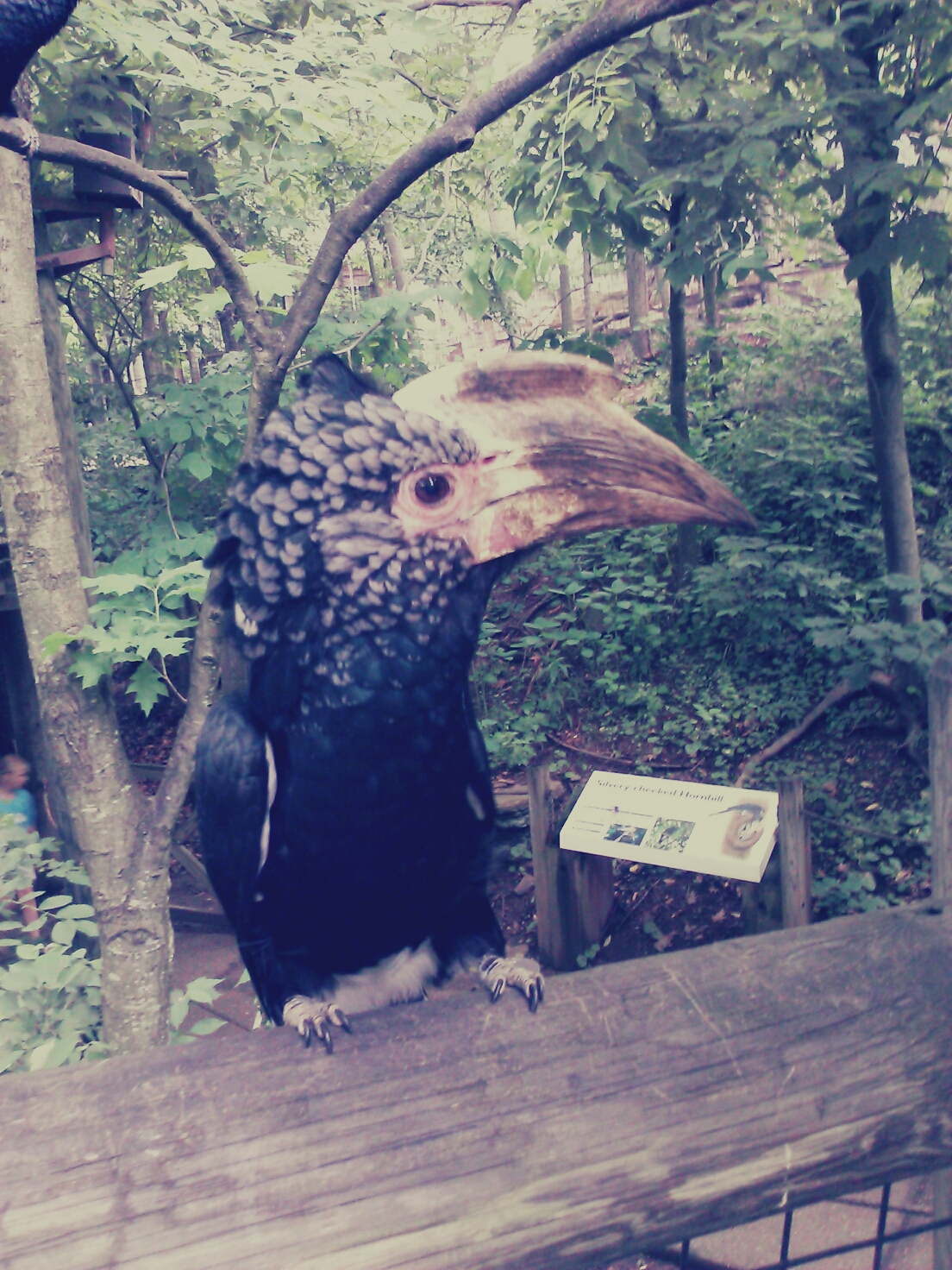 Silver Cheeked Hornbill - Pittsburgh Zoo